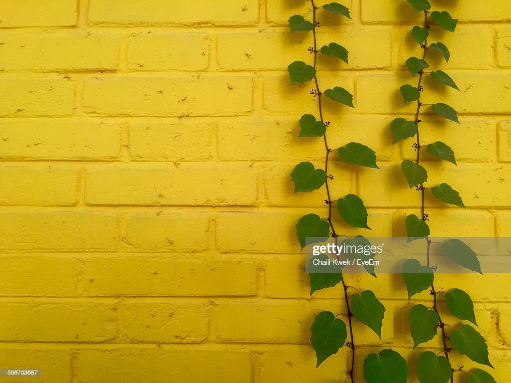 Creeping Plants For Walls. Virginia Creeper Uses Pads Instead Of ...
