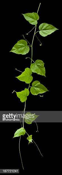 つる植物、絶縁にブラック、クリッピングパスが含まれています。