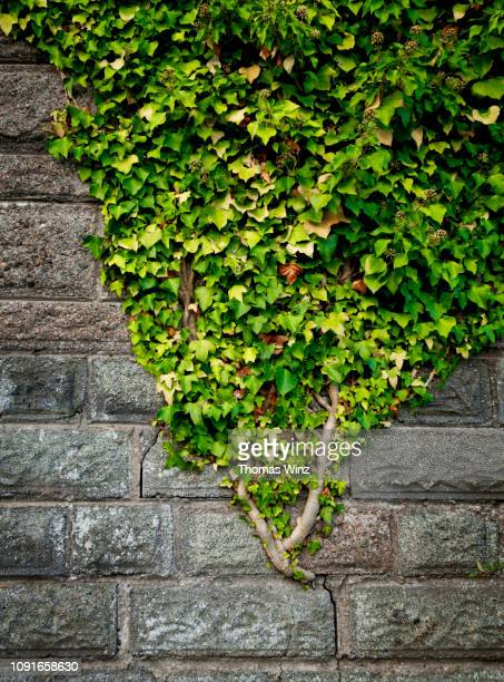 creeper plant on a stone wall - creeper stock pictures, royalty-free photos & images