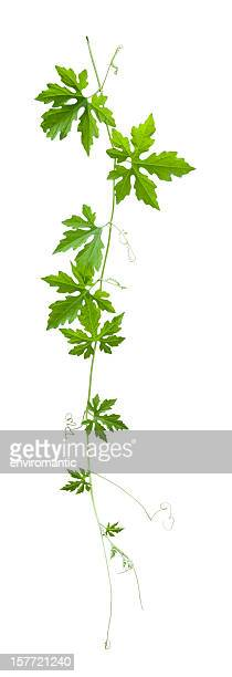 Creeper plant silhouette, isolated on white, clipping path included