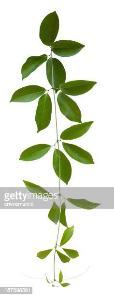 Creeper plant with clipping path included.