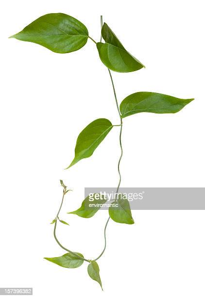 creeper plant with clipping path included. - tropical bush stock pictures, royalty-free photos & images
