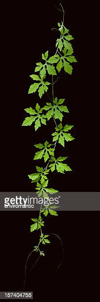 creeper plant with clipping path included. - twijg stockfoto's en -beelden