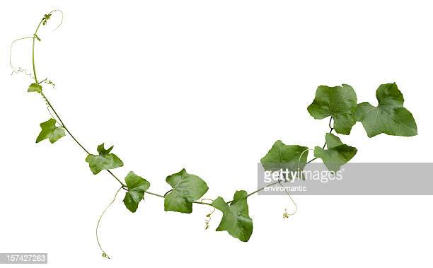 creeper plant with clipping path included. - lush foliage stock pictures, royalty-free photos & images