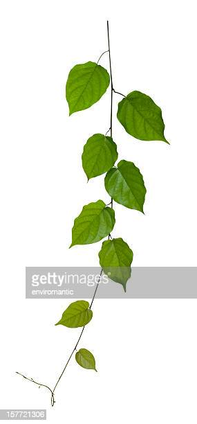 creeper plant with clipping path included. - branch plant part stock pictures, royalty-free photos & images