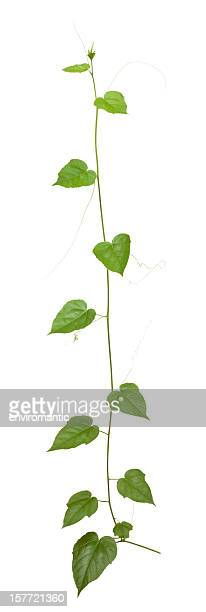 Plante grimpante avec un Tracé de détourage compris.