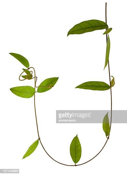 Plante grimpante avec un Tracé de détourage.
