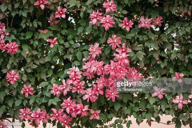 creeper plant with pink flowers - bedektzadigen stockfoto's en -beelden