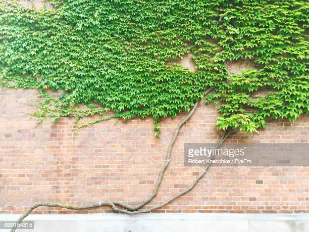 Creepers Growing On Brick Wall
