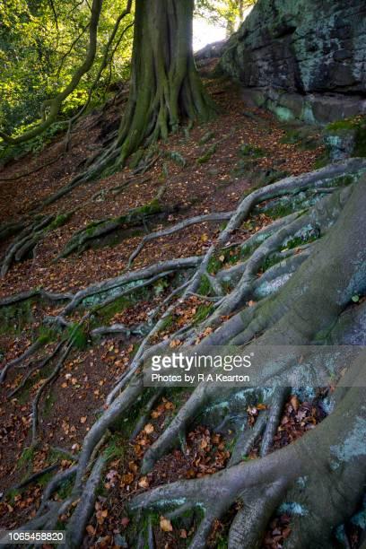Creeping Beech tree roots, Alderley Edge, CHeshire, England