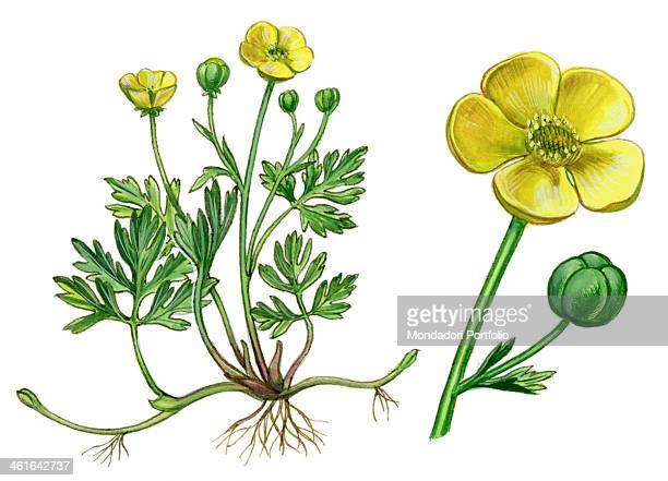Creeping Buttercup by Giglioli E 20th Century ink and watercolour on paper Whole artwork view Drawing of the plant with flowers