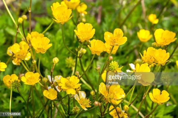 Creeping buttercup / creeping crowfoot in flower