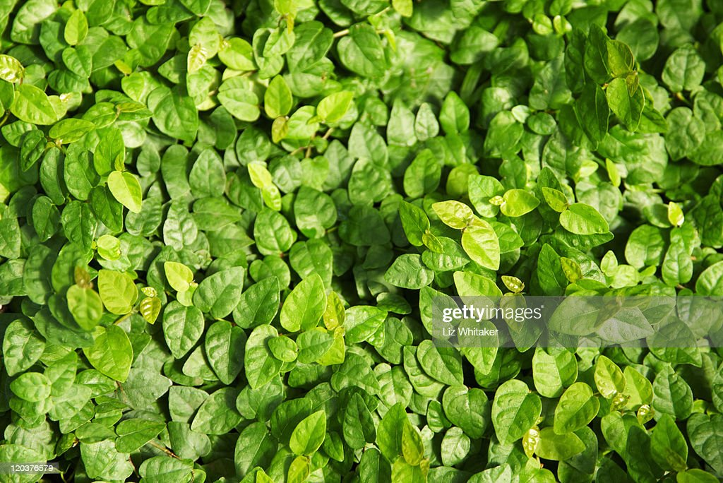 Creeping fig (Fiscus pumila), full frame : Stock Photo