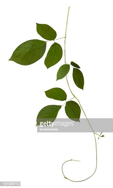 creeping plant isolated on white, clipping path included. - tropical bush stock pictures, royalty-free photos & images