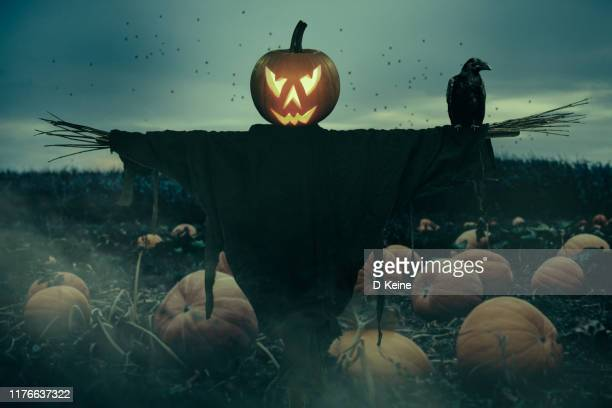 creepy field of pumpkins - scarecrow agricultural equipment stock photos and pictures