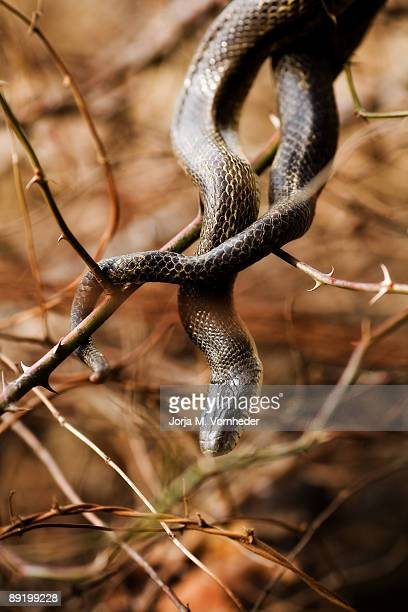 creepy - black rat snake stock pictures, royalty-free photos & images