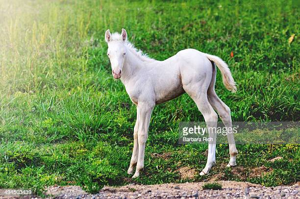 Cremelo colored blue eyed foal in spring pasture