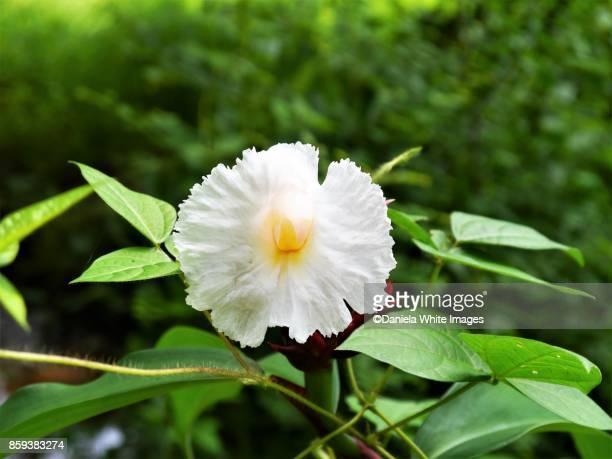 crepe ginger - fiore di zenzero foto e immagini stock