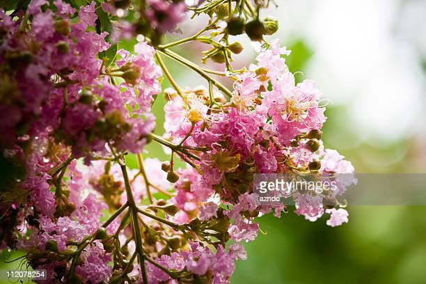 crepe myrtle - crepe myrtle tree stock pictures, royalty-free photos & images