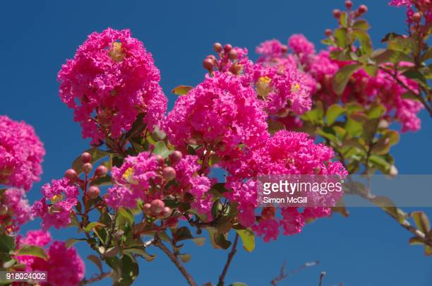 crepe myrtle tree in bloom against a clear blue summer sky - crepe myrtle tree stock pictures, royalty-free photos & images