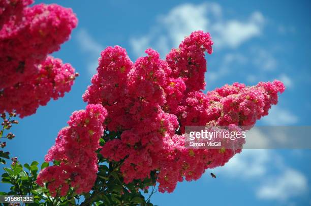 crepe myrtle tree in bloom against a summer sky - crepe myrtle tree stock pictures, royalty-free photos & images
