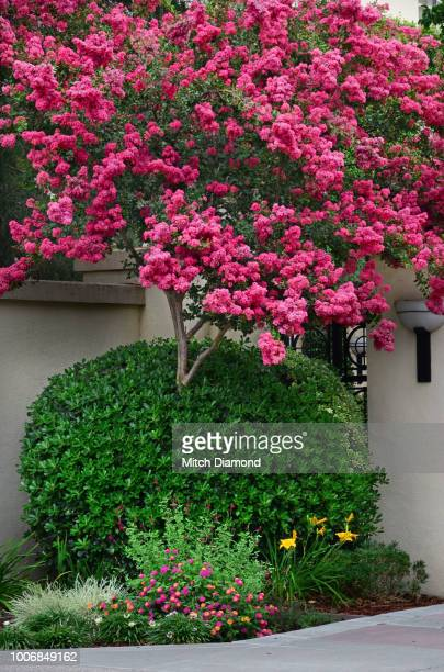 crepe myrtle tree in bloom - crepe myrtle tree stock pictures, royalty-free photos & images