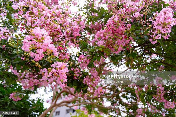 crepe myrtles - crepe myrtle tree stock pictures, royalty-free photos & images