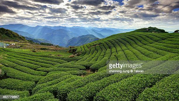 crepuscular rays, tea gardens - taiwan stock pictures, royalty-free photos & images