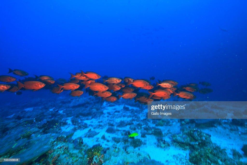 Crescent Tail Bigeye (Priacanthus Hamrur), Northern Huvadhu Atoll, Southern Maldives, Indian Ocean : Stock Photo