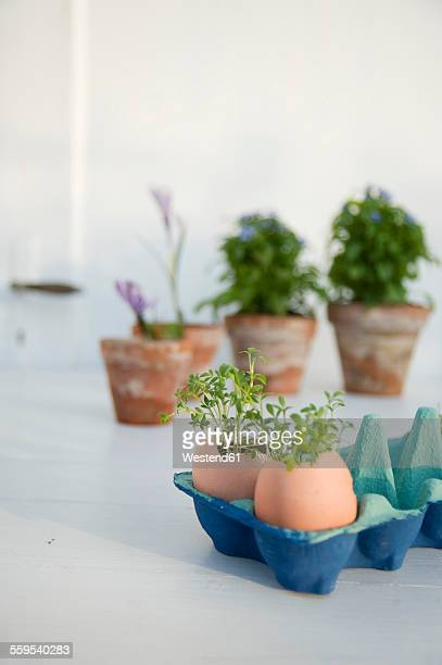 Cress growing in eggshells