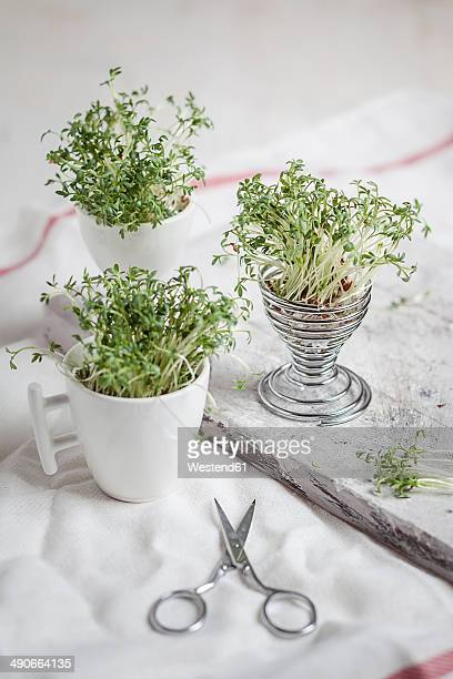 Cress (Lepidum sativum) in eggcup and cup, scissors