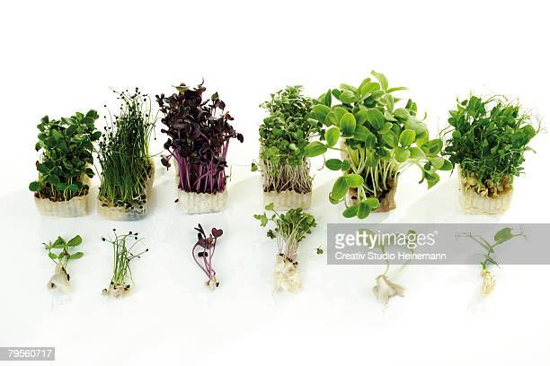 Cress in pots, close-up