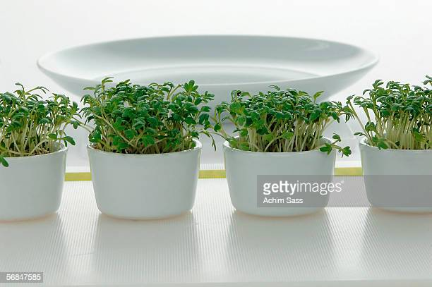 Cress in pots