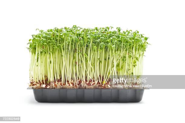 Cress Sprouts Against White Background