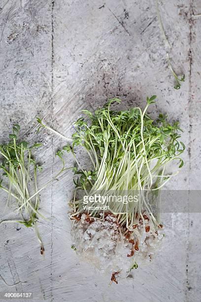 Cress (Lepidum sativum) with roots in perlite