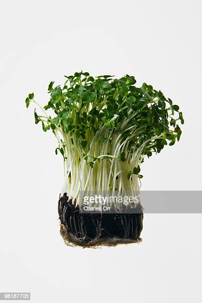 Cress with roots