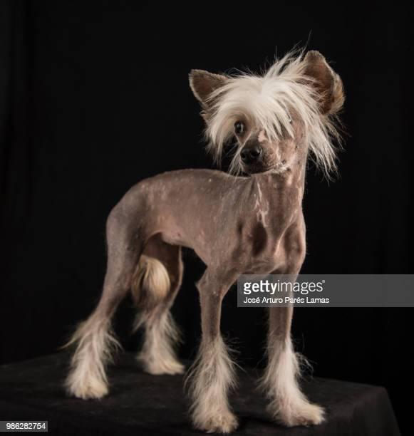 crestado chino de pelo largo - chinese crested dog stock photos and pictures