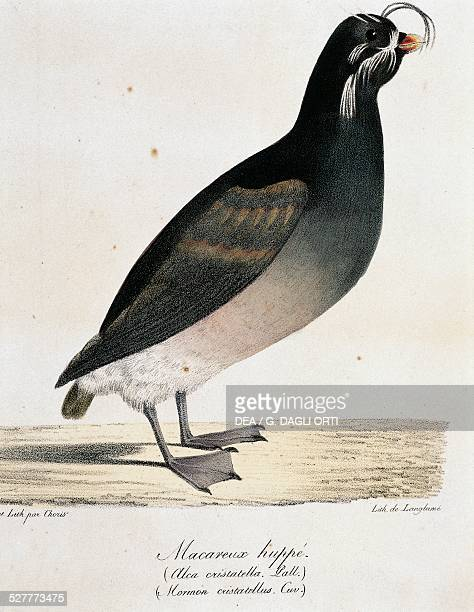 Crested Auklet from Voyage pittoresque autour du monde by Ludwig Choris lithograph by Joseph Langlume Germany 19th century Vincennes Castello Service...