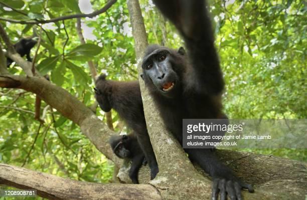 crested black macaque lunges for camera , tangkoko - sulawesi fotografías e imágenes de stock