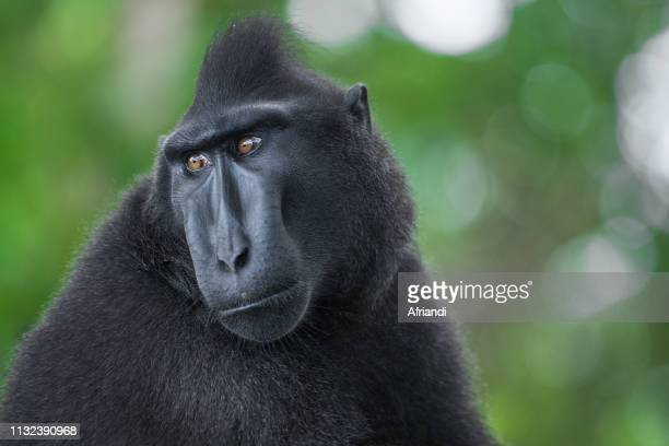 Crested Black Macaque, North Sulawesi, Indonesia