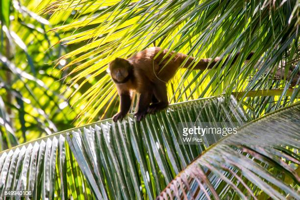 Crested capuchin Threatened of extinction, photographed in Linhares / Sooretama, EspÍrito Santo - Southeast of Brazil. Atlantic Forest Biome. Wild...