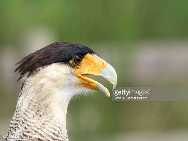 Crested Caracara (Polyborus plancus), portrait with their feathers fluttering in the wind , Pyrenees, France.