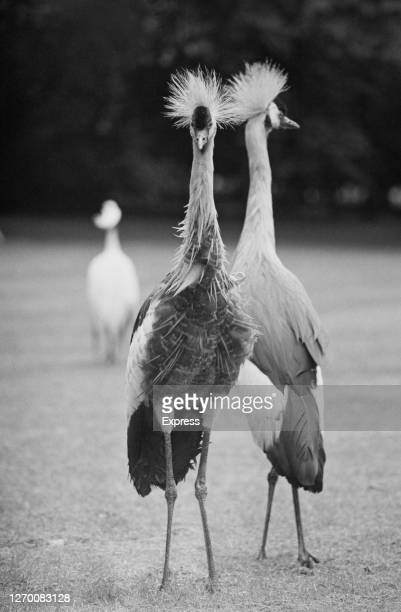 Crested cranes in the UK, 11th June 1985.