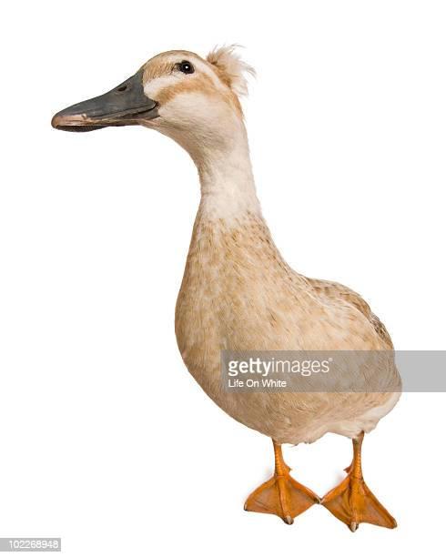 crested duck - anatra uccello acquatico foto e immagini stock