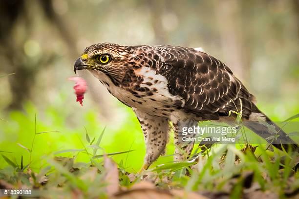 crested goshawk a raptor eagle bird - singapore - goshawk stock photos and pictures