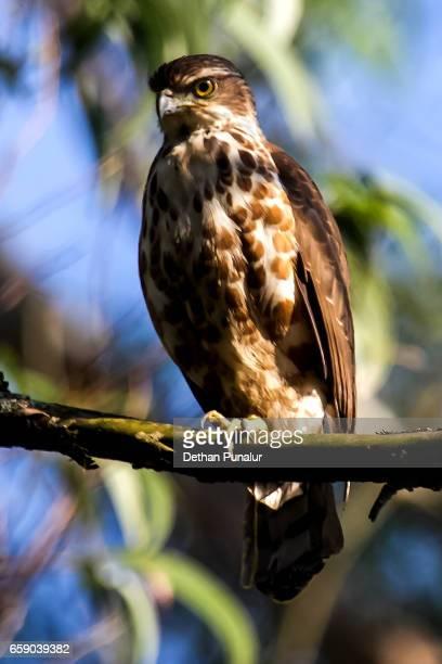 crested hawk-eagle (nisaetus cirrhatus) is sitting on a tree branch. - comportamiento de animal fotografías e imágenes de stock