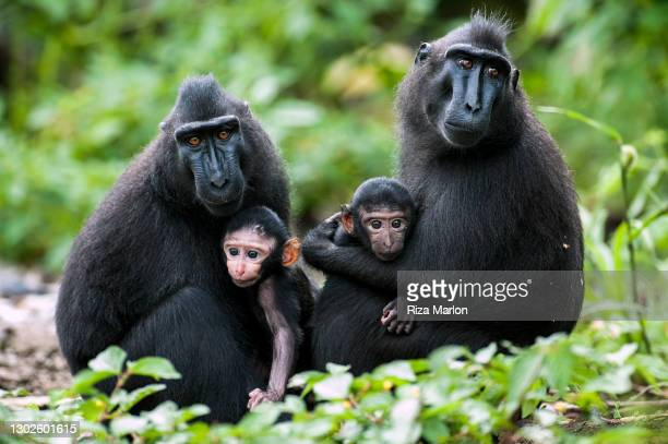 crested macaque - sulawesi stock pictures, royalty-free photos & images
