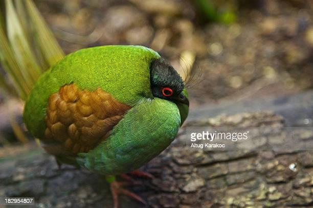 crested partridge - altug karakoc - fotografias e filmes do acervo