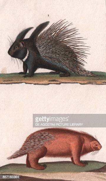 1 Crested porcupine 2 Porcupine colour copper engraving retouched in watercolour 9x15 cm from Dizionario delle scienze naturali compilato da vari...