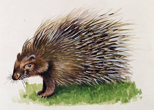 crested porcupine hystricidae drawing